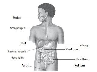 Sistem Pencernaan Beserta Organ Penyusunnya