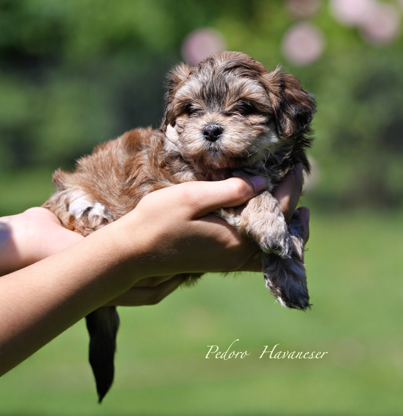 Havaneser Welpen VDH Kleinhund Fotos - Bilder - PEDORO HAVANESER