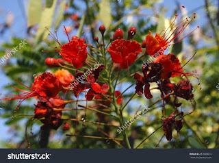 Tenerife, Flame tree with red flowers Delonix regia,Es uno de los árboles más coloridos del mundo por sus flores rojas, anaranjadas, un tono lila y un follaje verde brillante.