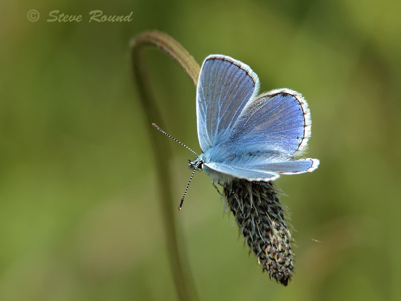 common blue, butterfly, butterflies, nature, wildlife