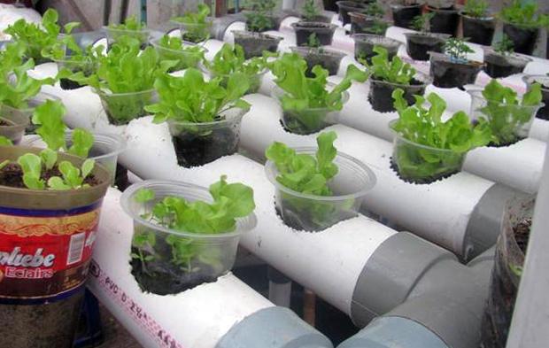 Tanaman Sayur Yang Cocok Untuk Hidroponik