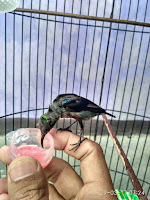 Kolibri Ninja Jinak, Makan Madu, Minum Susu