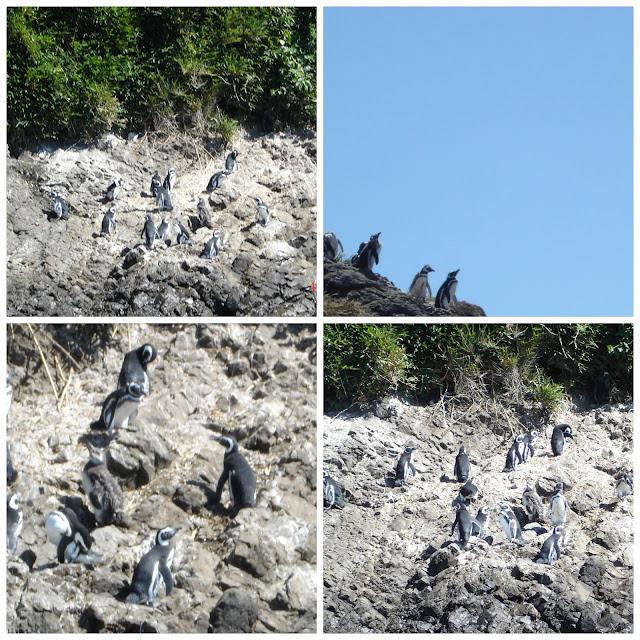 Pinguinera, Chilóe, Chile