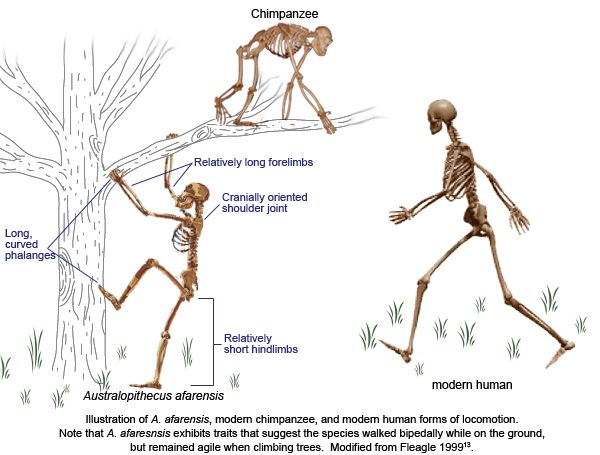 a comparison of modern humans and chimpanzees Human torque is not present in chimpanzee brain elongated and of lesser height in comparison to live brains of modern humans and chimpanzees analyzed.