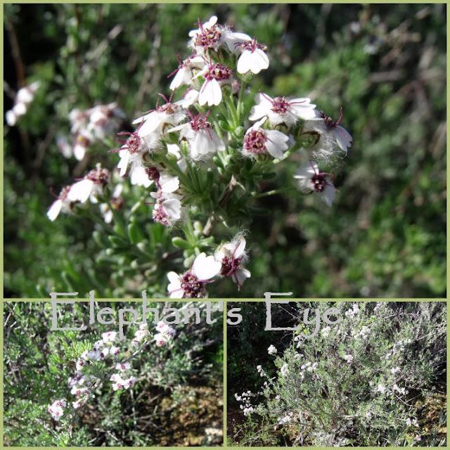 Wild rosemary Eriocephalus