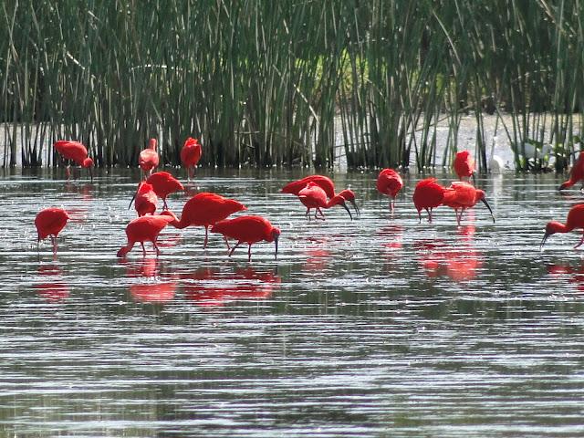 Anda vagarosamente na água rasa, com a ponta do bico submersa, abrindo e fechando as mandíbulas em busca de caranguejos, tais como a chama-maré ou sarará e o maraquani. Há grande número destas aves no Estado do Paraná, mas atualmente já extinguiu na região sudeste.