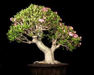 Bonsai Adenium 1