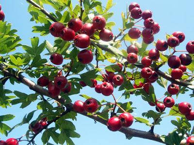 frutos y hojas del espino albar