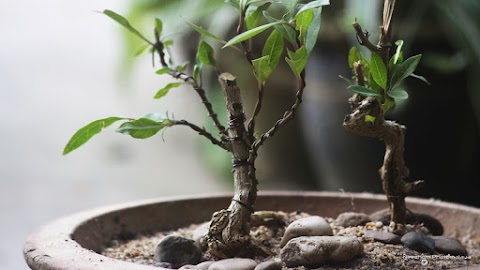 Pokok Renek di Pulau Wan Man ini sesuai dibuat Mini Bonsai?