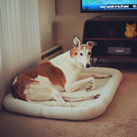 image of Dudley the Greyhound lying in his dog bed on the floor of the living room, looking at me with one perked-up ear
