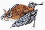 El murciélago abejorro de Tailandia (Craseonycteris thonglongyai), el mamífero más pequeño que existe