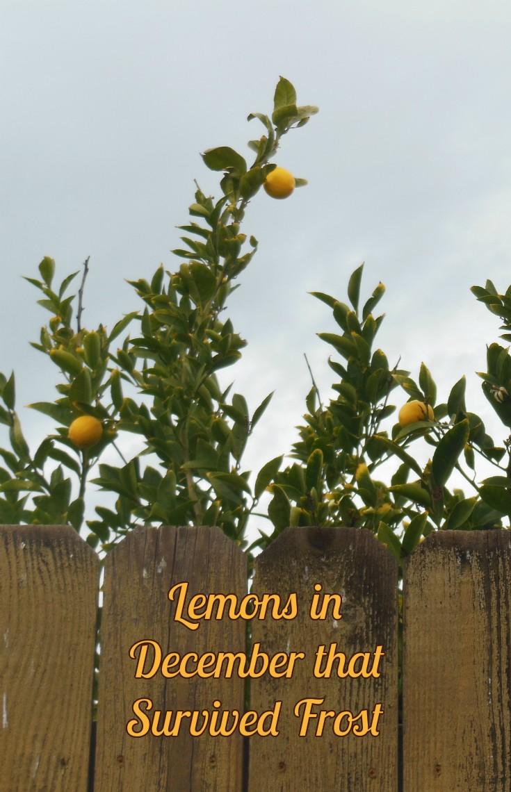 Lemons in December that Survived Frost