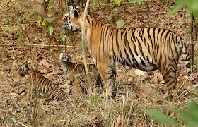 kanha national park safari hindi