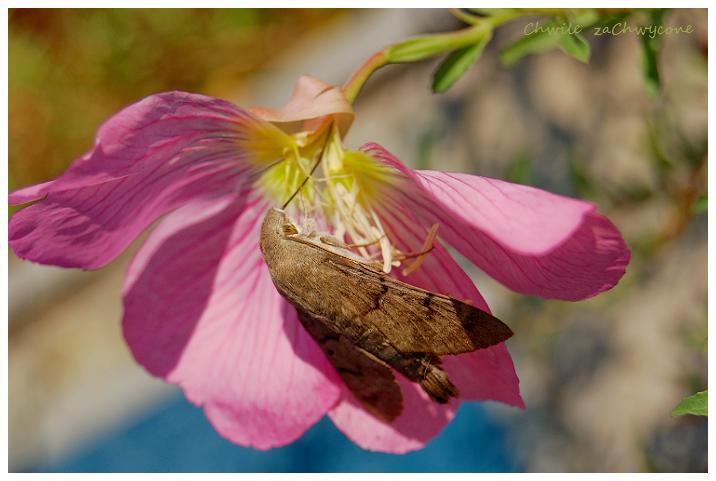 fruczak gołąbek Macroglossum stellatarum