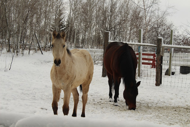 White horse and brown horse in snow
