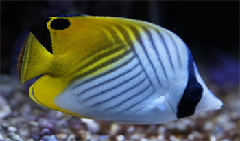 image of an angelfish