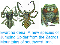 http://sciencythoughts.blogspot.co.uk/2017/08/evarcha-dena-new-species-of-jumping.html
