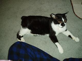 Meet Diabetic Cat Jibbit