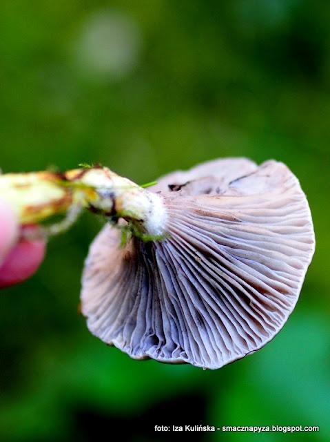 tlusciocha, czop, slimak, grzyby jadalne, klejowka swierkowa, atlas grzybow, jaki to grzyb, grzybobranie
