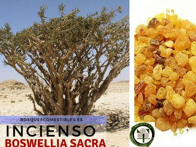 El Incienso es el árbol Boswellia, que se encuentra en las zonas secas del este de Africa