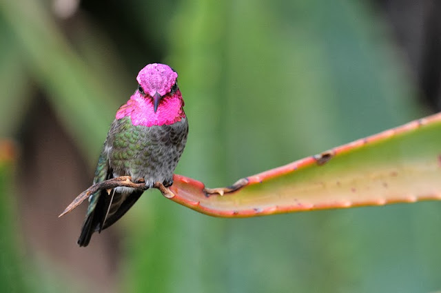 A pink green hummingbird looking active while resting on aloe vera plant leaf