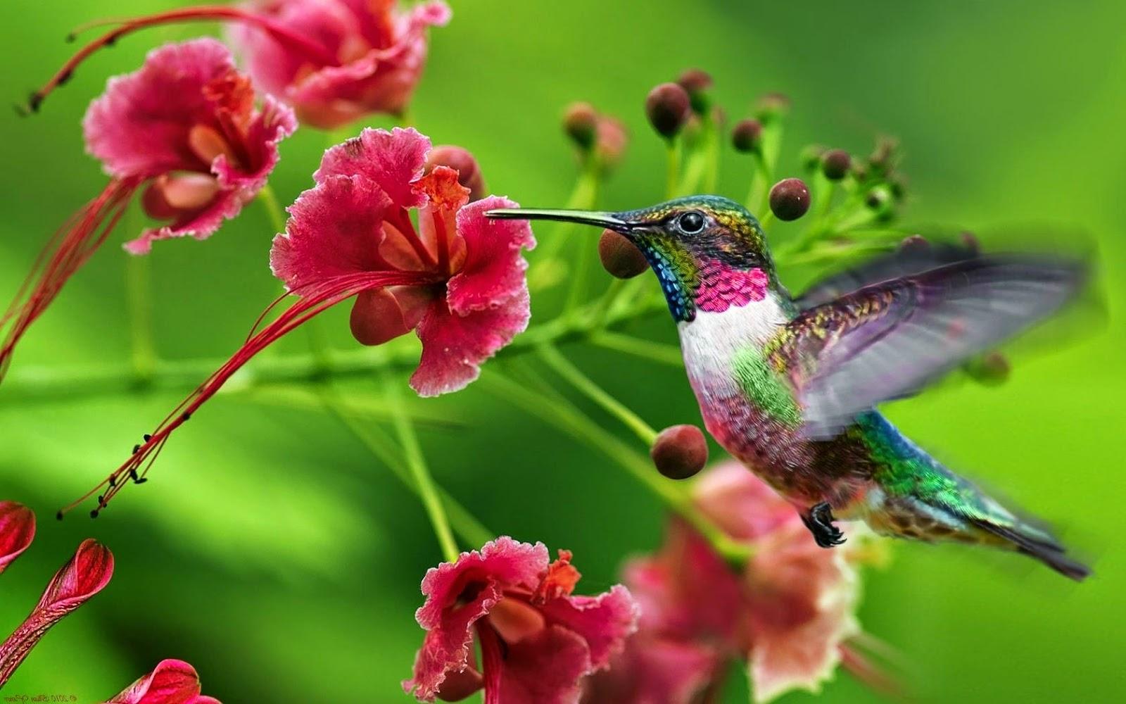 Quelques petites choses au sujet du colibri records anatomie et volution sweet random science - Oiseau mouche dessin ...
