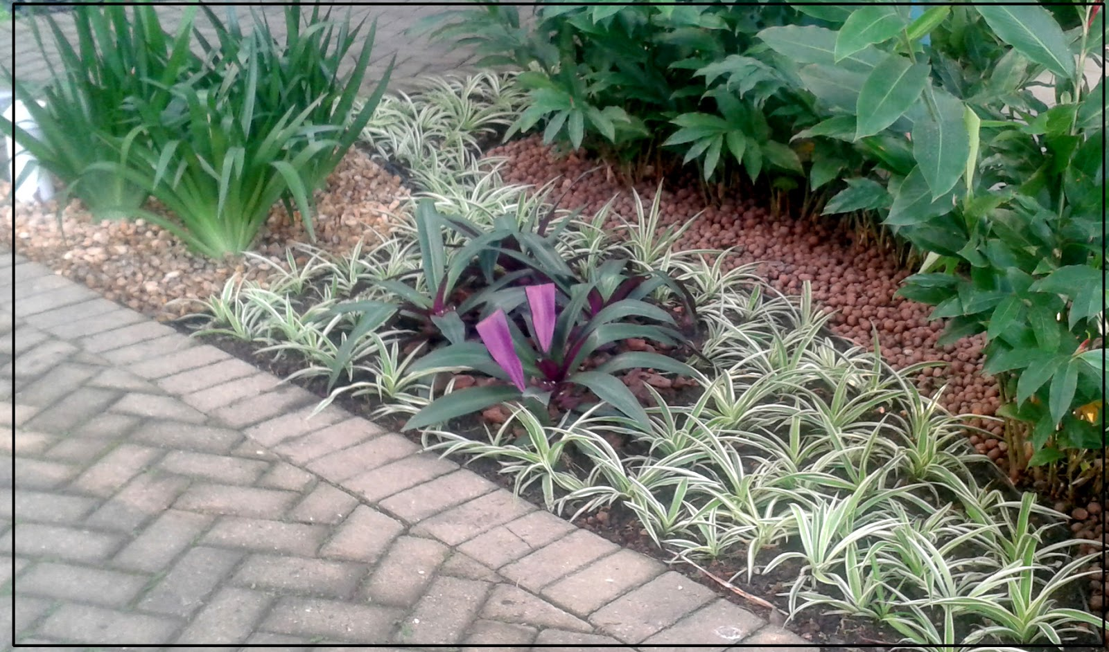 Cadutati jardins clorofito chlorophytum comosum for 5 jardins de lucie