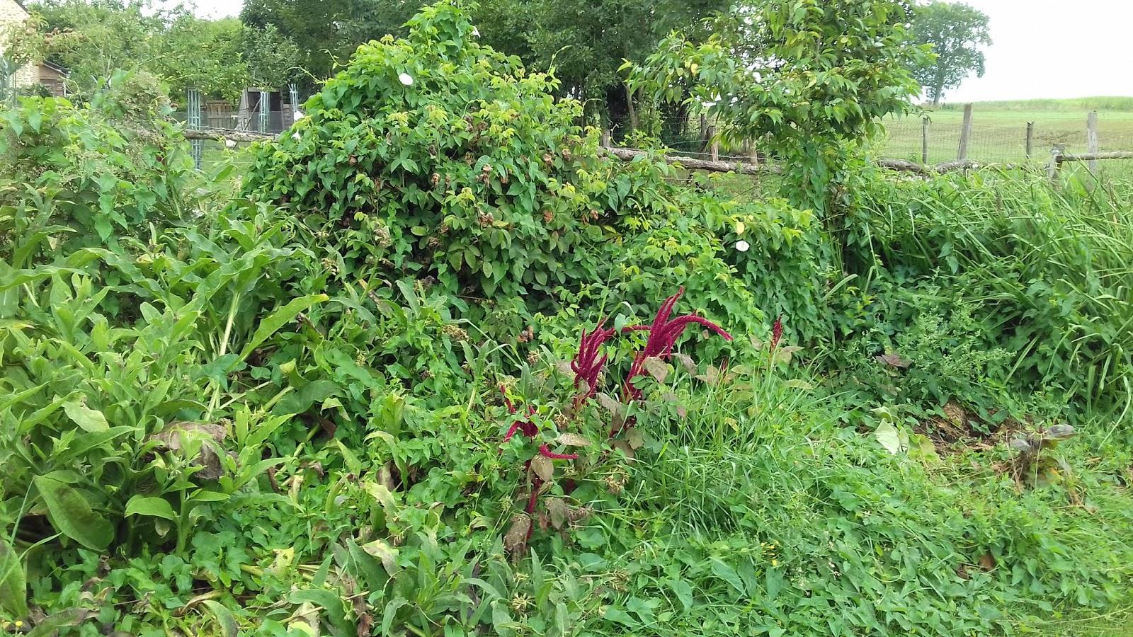 le potager des violettes: le liseron au jardin