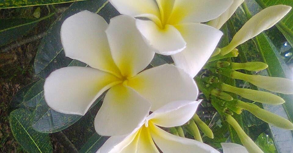 Baru 30 Bagian Bagian Bunga Kamboja Putih