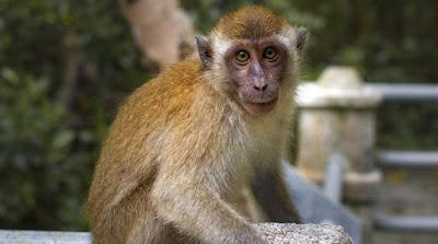 Idoso de 72 anos é apedrejado e morto por macacos