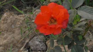 Rose Flower in National Rose Garden Delhi 2085
