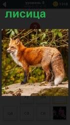 Самый хитрый зверек рыжая лисица около кустов в лесу, думает что можно еще украсть и съесть