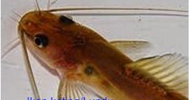Ikan Keting Atau Lundu (mystus Nigricheps) - Mancing Ikan