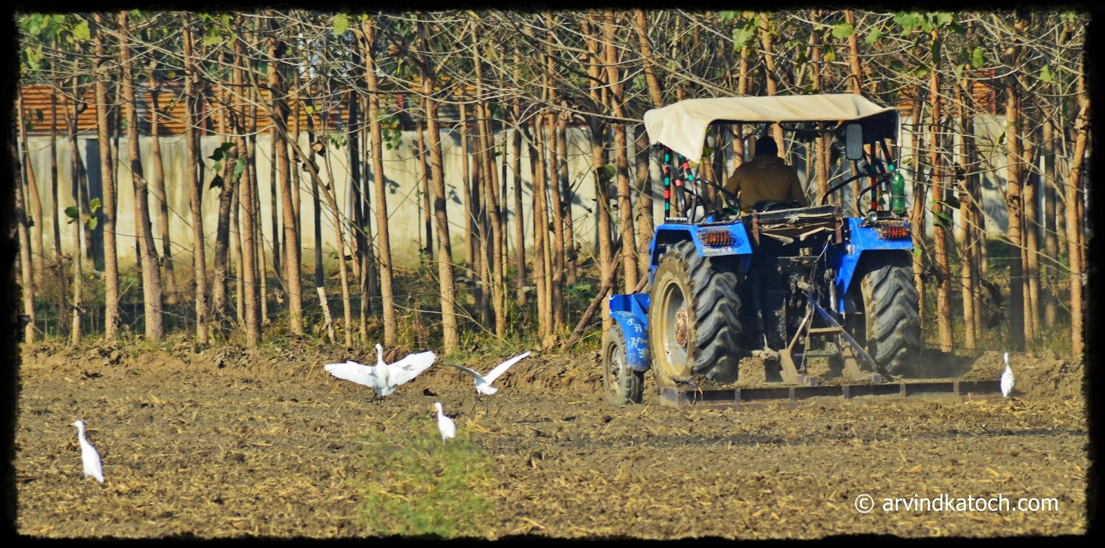 Cattle Egret, Birds, Tractor, Fields Punjab,