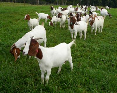kaedah ternak kambing boer