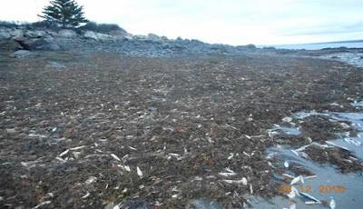 Misteri Penyebab Ribuan Ikan Mati di Kanada