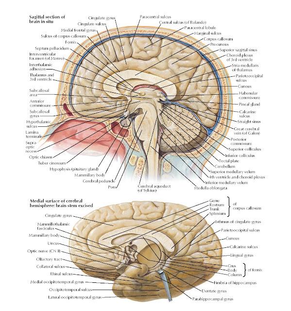 Brain: Medial Views Anatomy