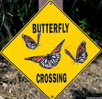 Butterfly Crossing | Papillon Monarque, Santa Cruz, Californie