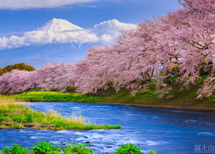 Pink Cherry Blossom Wallpaper Hd Visit Sacred Mount Fuji And The Chureito Pagoda In Japan