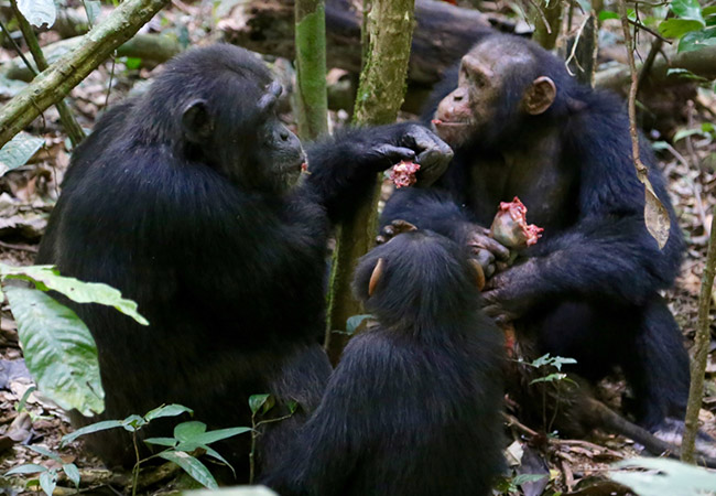 Penelitian Reward of Labor Coordination and Hunting Success in Wild Chimpanzees