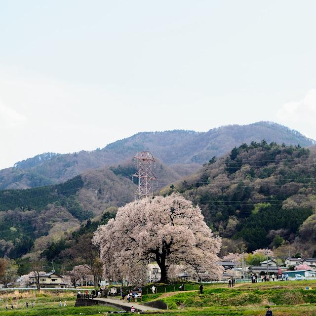 わに塚のサクラ 韮崎