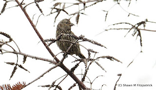 juvenile White-winged Crossbill in Goulds, Newfoundland