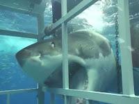 акулы убийцы фото смотреть