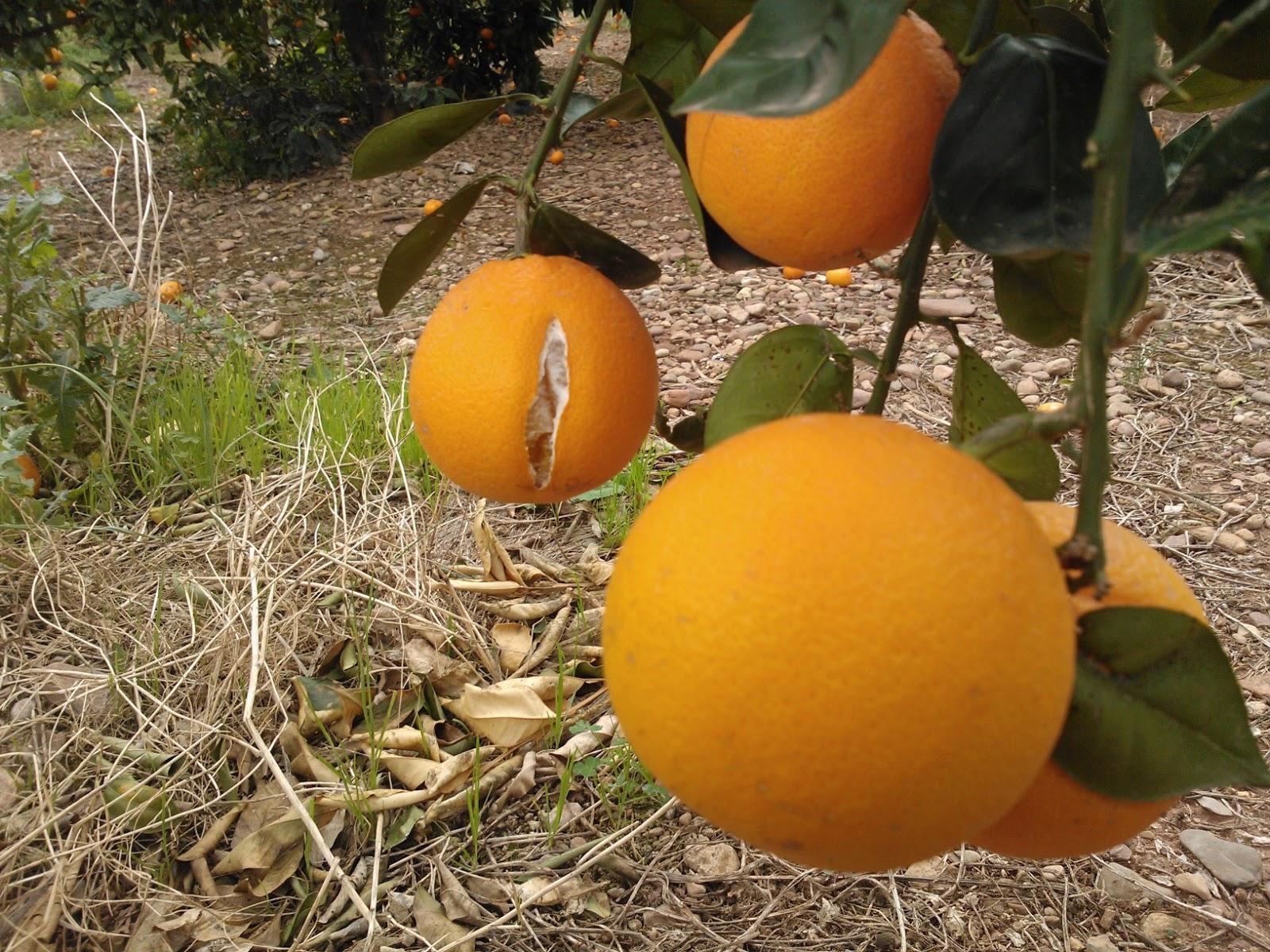 Citriline costa del azahar naranjas y mandarinas - Naranjas del arbol a la mesa ...