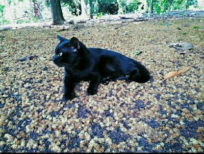 Kucing warna hitam semua