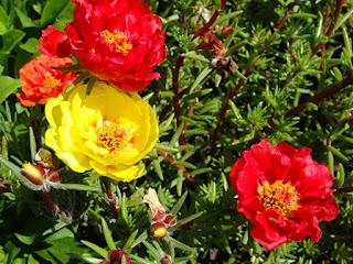 A planta é chamada de onze-horas por florescer aproximadamente nesse horário. Ao cair da tarde, as flores murcham e caem, dando vez à outras que desabrocharão no dia seguinte e no mesmo horário, sucessivamente.  Onze-horas - Planta rasteira, de folhas suculentas e finas como palitos, que não costuma passar dos 20 cm de altura.