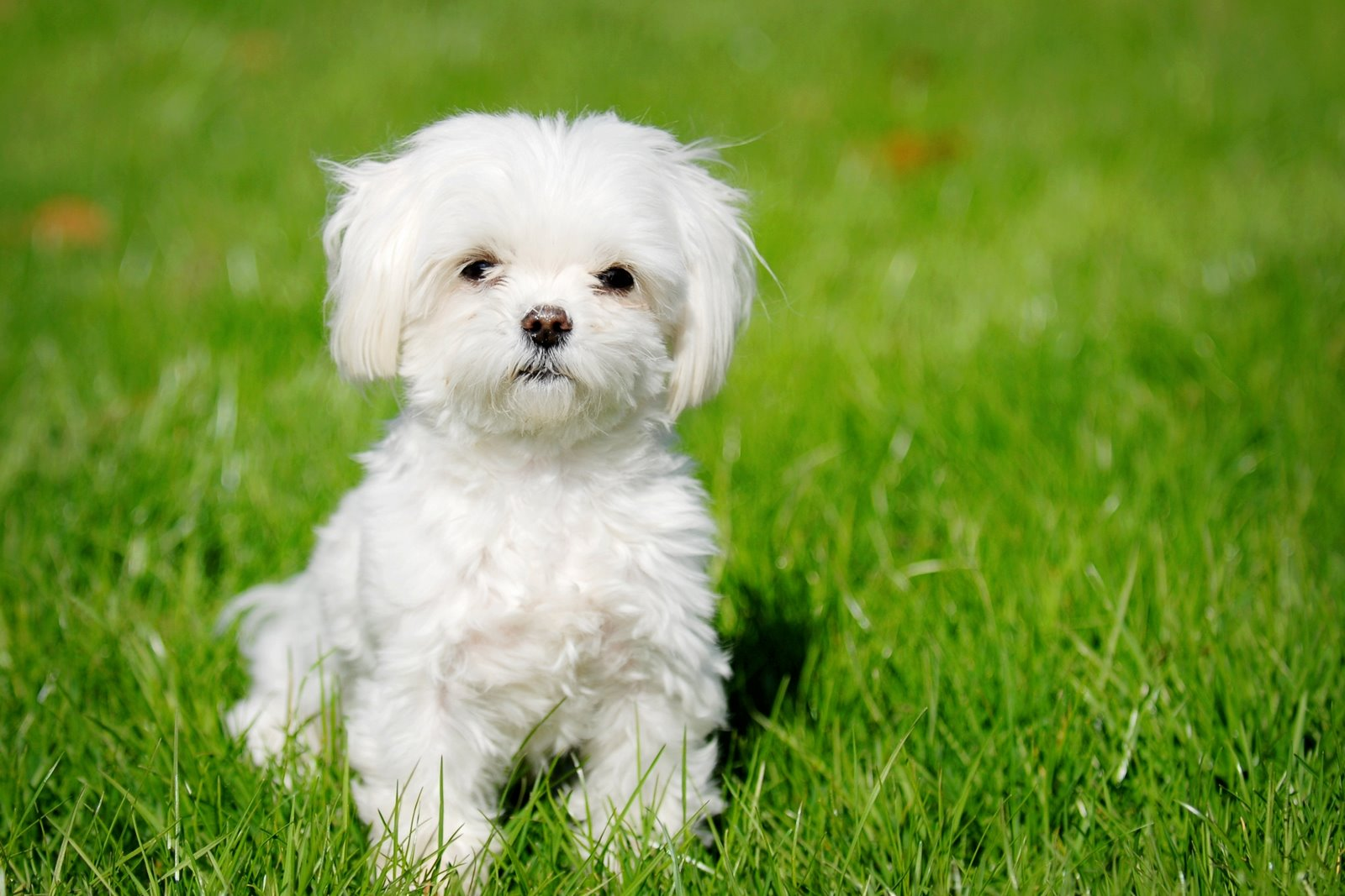 Cute Puppy Dogs: cute maltese puppy