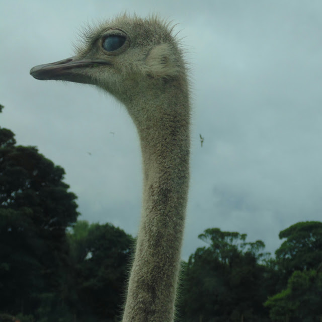 Knowsley safari park, ostrich