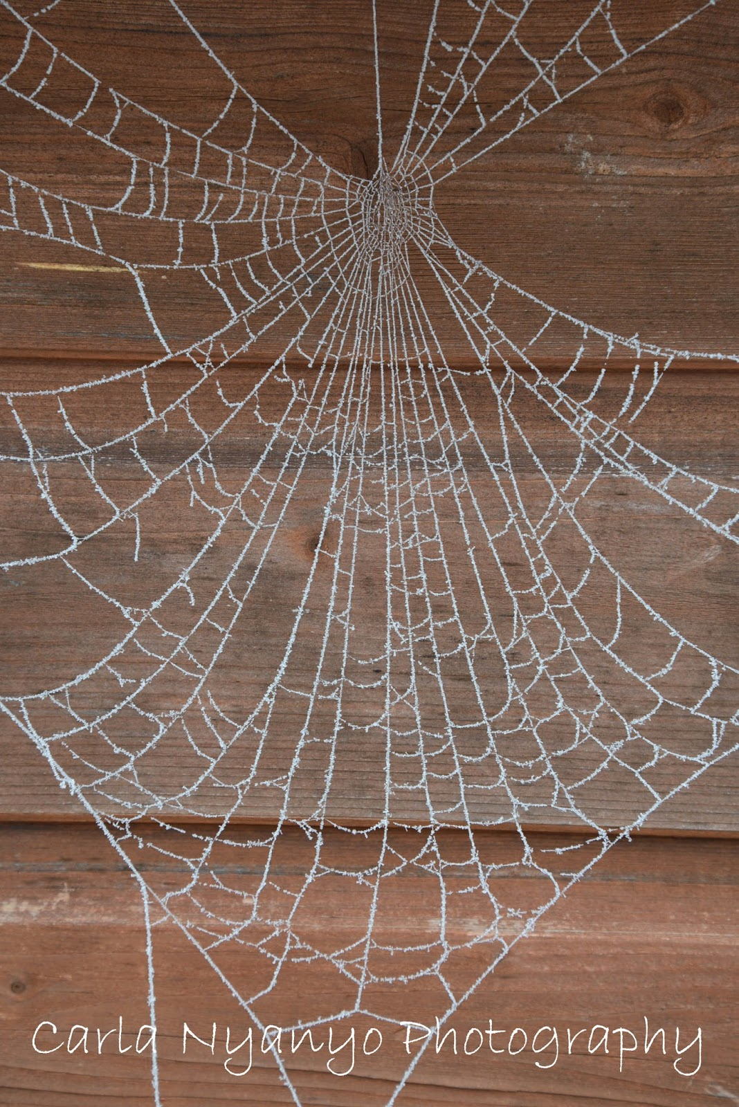 frosty spider web 1