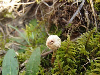 berłóweczka zimowa Tulostoma brumale